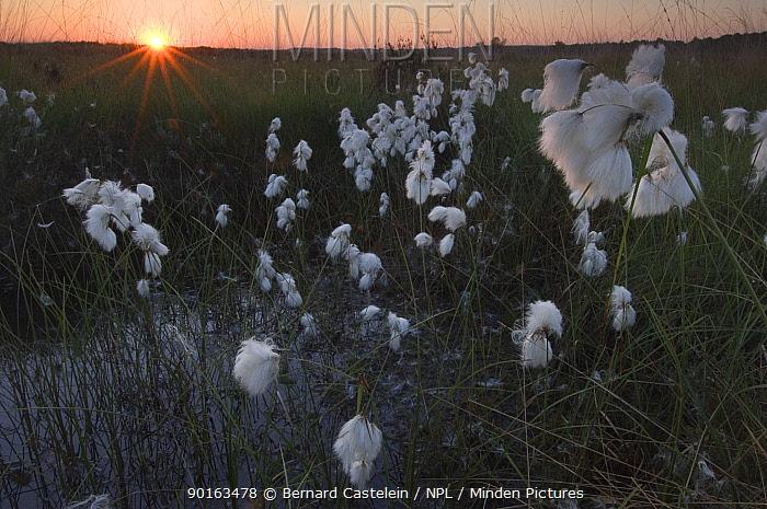 Common cotton grass (Eriophorum angustifolium) at sunrise, Wuustwezel, Belgium  -  Bernard Castelein/ npl