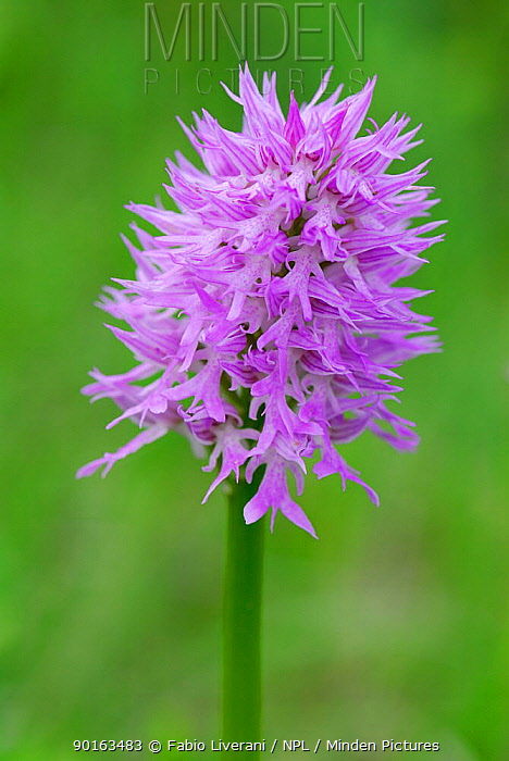 Toothed Orchid (Orchis tridentata), Casentinesi Forest NP, Tuscany, Italy  -  Fabio Liverani/ npl