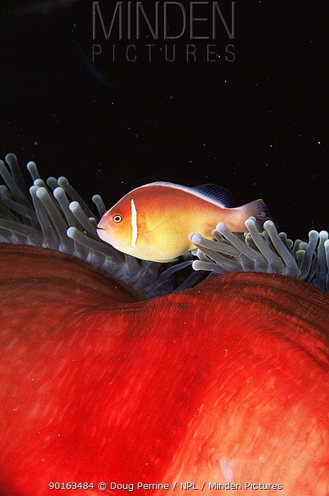 Pink anemonefish (Amphiprion perideraion) on host sea anemone (Heteractis magnifica) Great Barrier Reef, Queensland, Australia  -  Doug Perrine/ npl