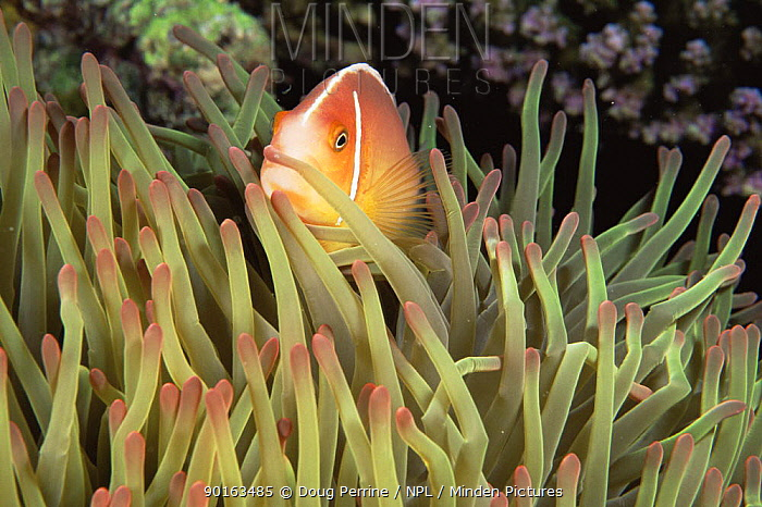 Pink anemonefish (Amphiprion perideraion) amongst host sea anemone tentacles, Great Barrier Reef, Queensland, Australia  -  Doug Perrine/ npl