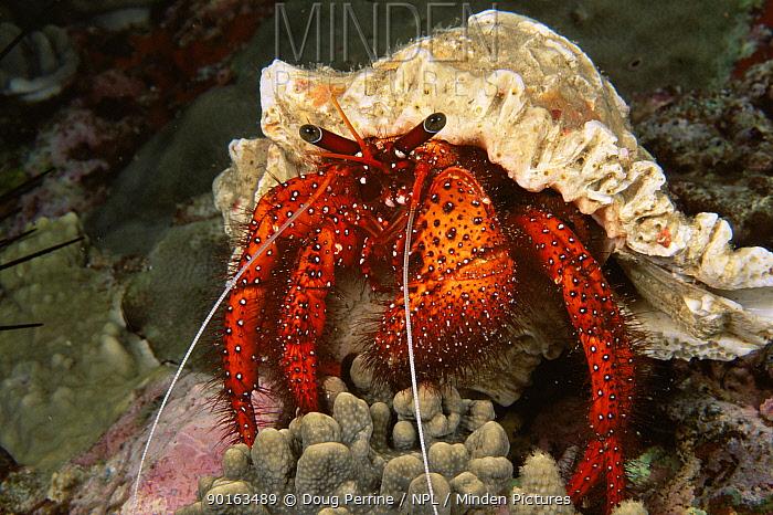 Red hermit crab (Dardanus megistos) Ko Bon, Thailand  -  Doug Perrine/ npl