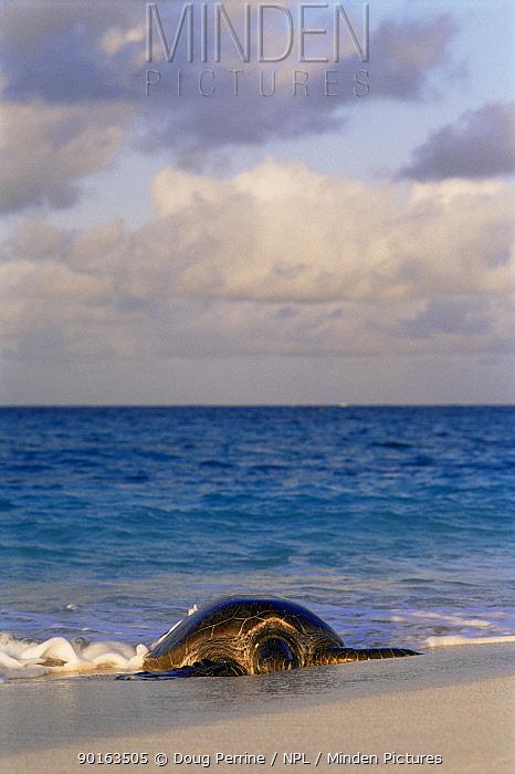 Green turtle (Chelonia mydas) coming ashore to nest, Flinders Is, Coral Sea, Australia  -  Doug Perrine/ npl
