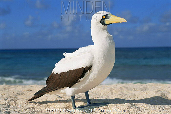 Masked booby (Sula dactylatra melanops) Flinders reef, Coral Sea, Australia  -  Doug Perrine/ npl