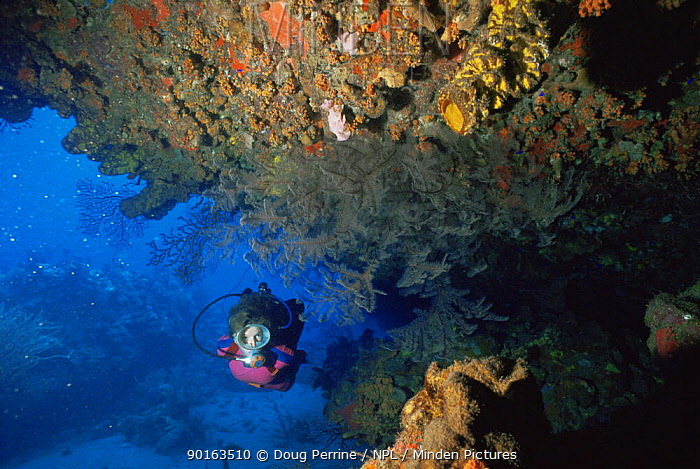Diver explores under ledge of coral reef, black coral, Saba, Caribbean  -  Doug Perrine/ npl