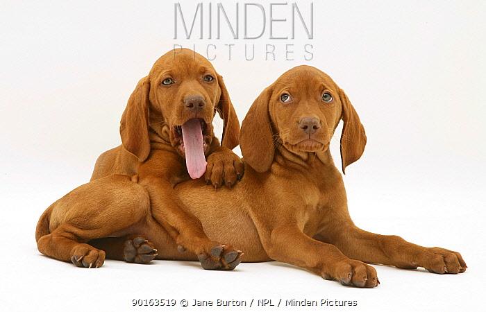 Two Hungarian Vizsla puppies lying down, one yawning  -  Jane Burton/ npl