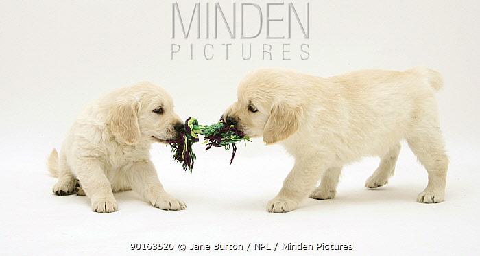 Golden Retriever pups playing tug-of-war  -  Jane Burton/ npl