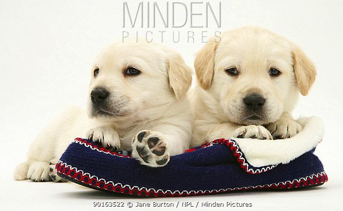 Two Yellow Goldidor Retriever (Golden Retiever cross Labrador) pups lying on a slipper  -  Jane Burton/ npl