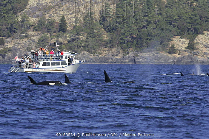 Killer Whales (Orcinus orca), whale watching from boat, Vancouver island, canada  -  Paul Hobson/ npl