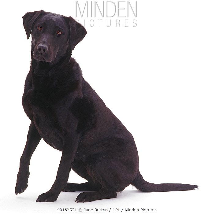 Black Labrador bitch sitting down  -  Jane Burton/ npl