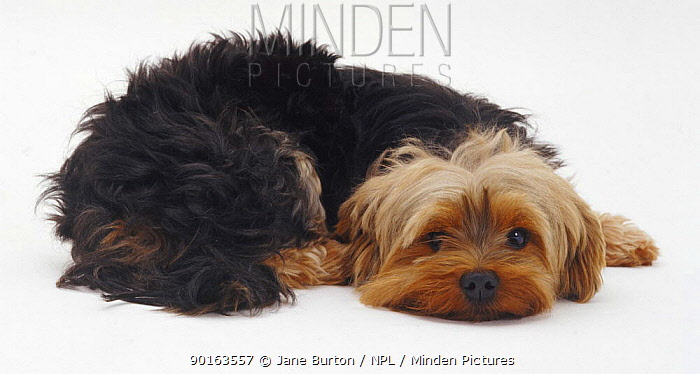 Yorkshire Terrier lying with its chin on the ground  -  Jane Burton/ npl