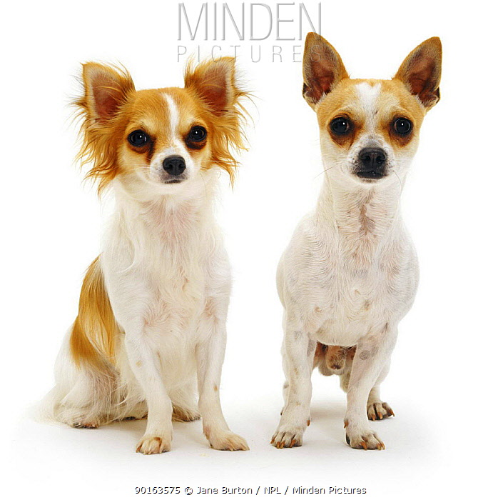 Long-haired and smooth-haired Chihuahuas sitting next to each other  -  Jane Burton/ npl