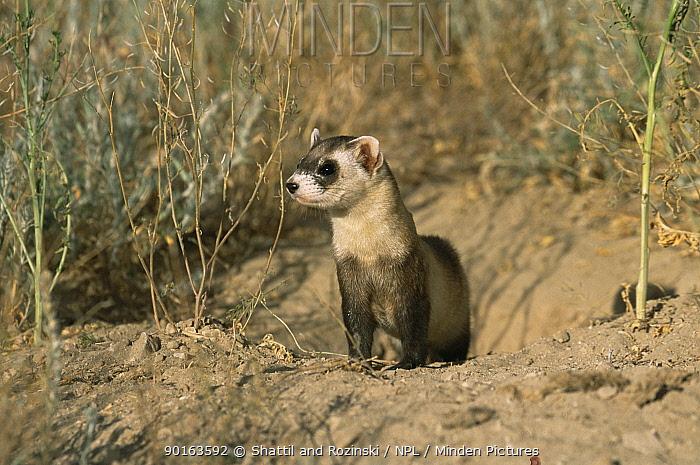 Black footed ferret (Mustela nigripes) at burrow, endangered, Colorado, USA  -  Shattil & Rozinski/ npl