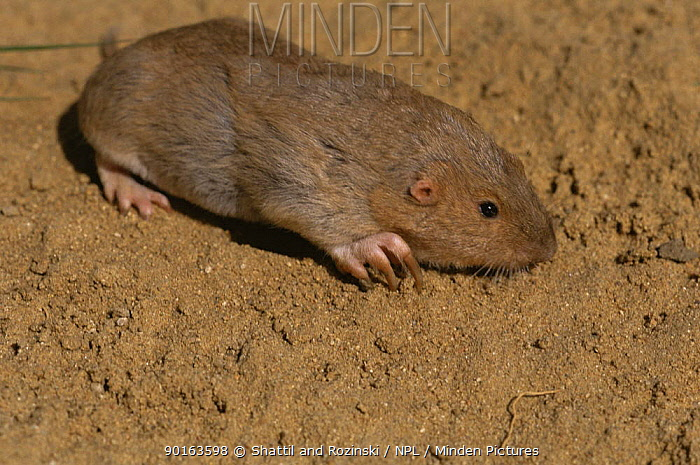 Plains pocket gopher (Geomys bursarius) Colorado, USA  -  Shattil & Rozinski/ npl