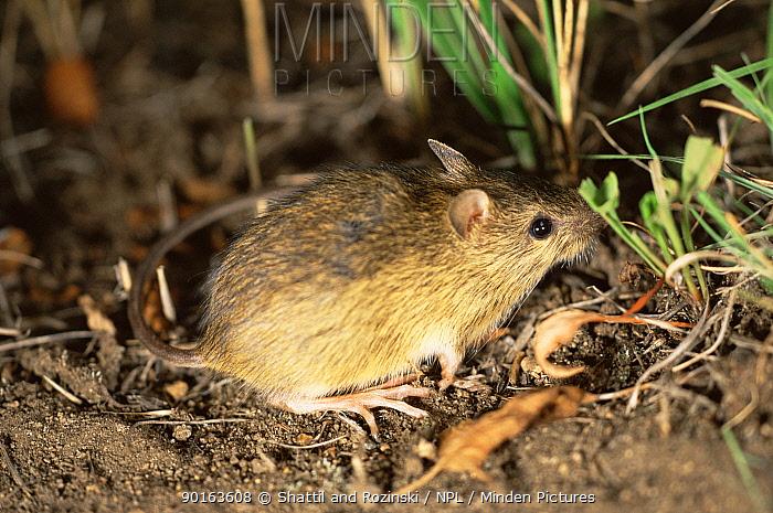 Preble's meadow jumping mouse (Zapus hudsonius preblei) Colorado, USA, Endangered  -  Shattil & Rozinski/ npl