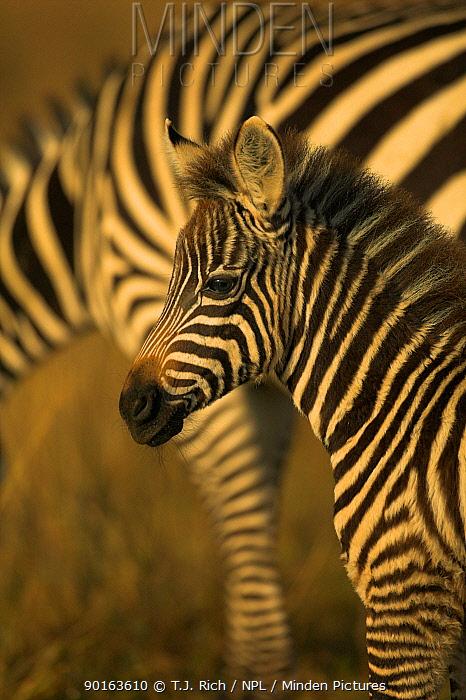 Common Zebra foal (Equus burchelli) Lake Nakuru NP, Kenya  -  T.J. Rich/ npl