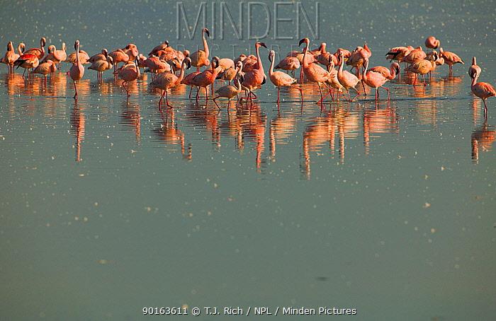 Lesser Flamingos (Phoenicopterus minor) Lake Nakuru NP, Kenya  -  T.J. Rich/ npl