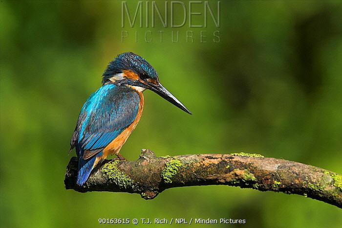 European Kingfisher (Alcedo atthis) UK  -  T.J. Rich/ npl