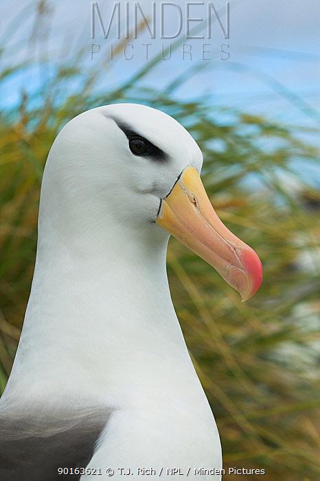 Black-browed Albatross (Diomeda melonophrys) Falkland Islands  -  T.J. Rich/ npl