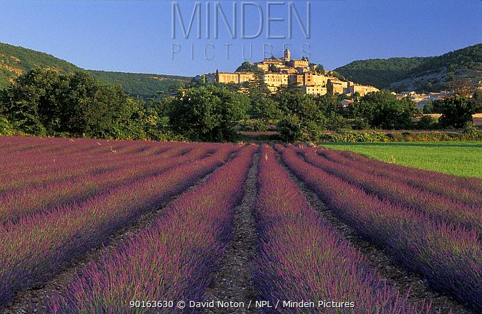 Lavender Field, near Bagnon, The Vaucluse, Provence, France  -  David Noton/ npl