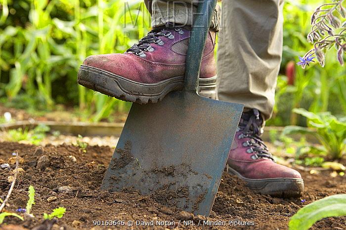 A woman digging with a spade in a Dorset garden, England, UK  -  David Noton/ npl