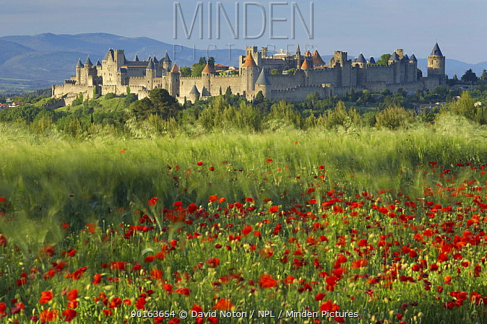 Medieval Cite and a poppy field, Carcassonne, Languedoc, France  -  David Noton/ npl