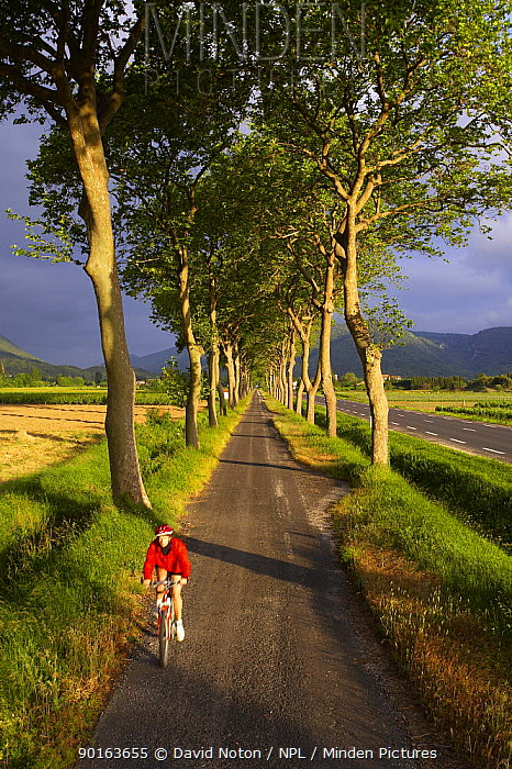 Cyclist cylcling along avenue of trees, Val du Fenouillet, Languedoc, France  -  David Noton/ npl