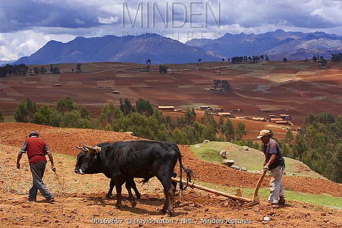 Farmer with ox-driven plough, nr Chincherro, above the Sacred Valley, nr Cusco, Peru  -  David Noton/ npl