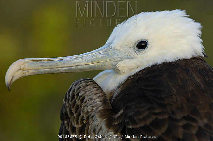 Magnificent frigatebird juvenile (Fregata magnificens)North Seymour Island, Galapagos  -  Pete Oxford/ npl