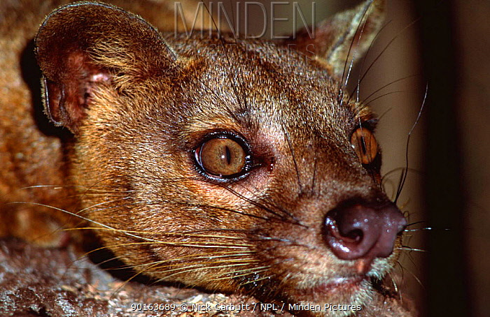 Head portrait of Fossa (Cryptoprocta ferox) Madagascar  -  Nick Garbutt/ npl