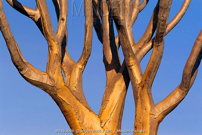 Quiver tree branch detail (Aloe dichotoma) Namibia  -  Ingo Arndt/ npl