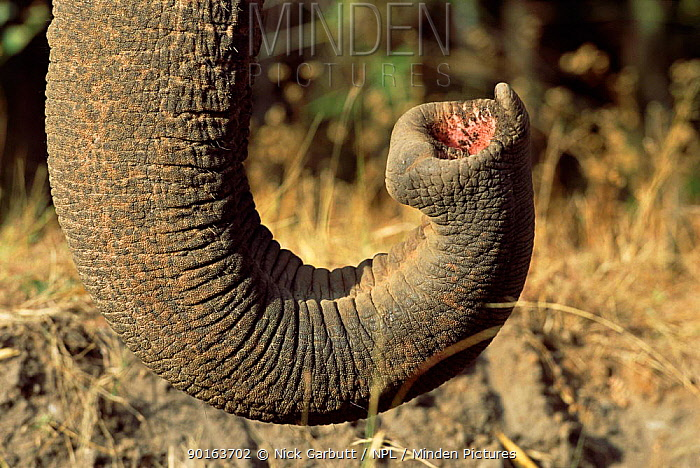 Close-up of tip of trunk of Indian elephant (Elephas maximus) captive, India  -  Nick Garbutt/ npl