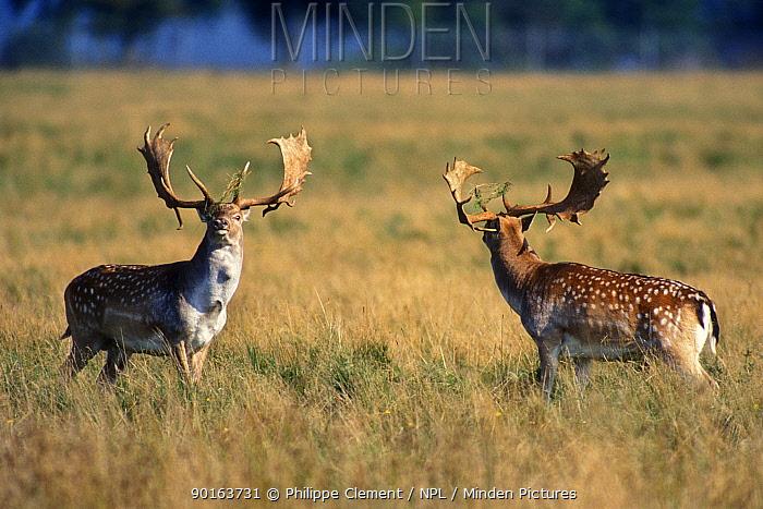 Two male Fallow deer (Dama dama) sizing-up before fighting during rut, Jaegersborg Dyrehaven Copenhagen, Denmark  -  Philippe Clement/ npl