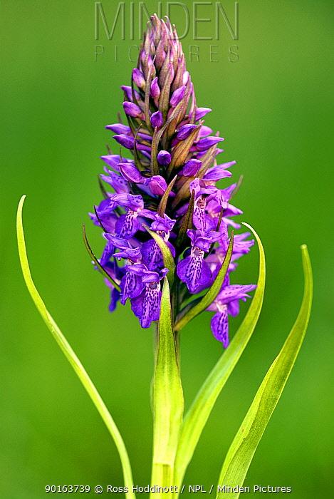 Marsh orchid (Dactylorhiza praetermissa) Millook, Cornwall, UK  -  Ross Hoddinott/ npl
