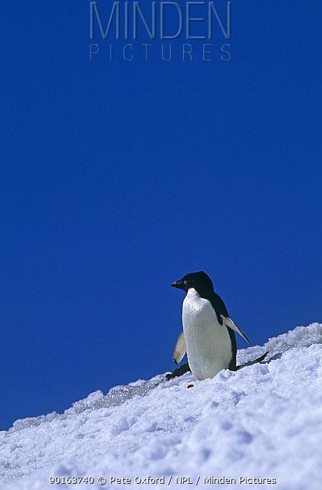 Adelie Penguin (Pygoscelis adeliae)  -  Pete Oxford/ npl