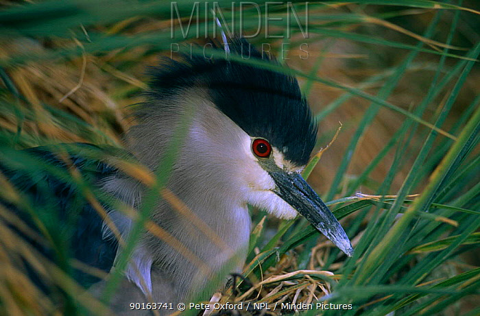 Black crowned night heron (Nycticorax nycticorax cyanocephalus) Gypsy Cove, East Falkland Islands  -  Pete Oxford/ npl