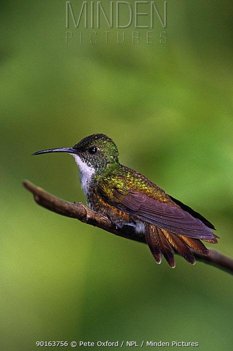 White chested emerald hummingbird (Amazilia chionopectus) perching on branch, Asa Wright, Trinidad  -  Pete Oxford/ npl