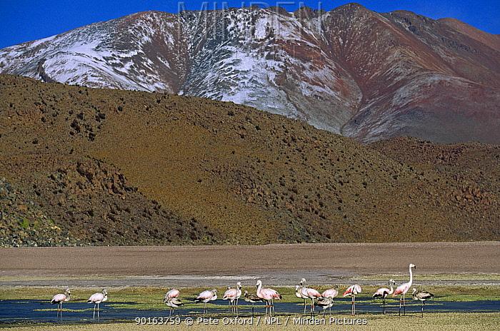 Flock of Chilean flamingos (Phoenicopterus chilensis) Laguna celeste, South western Bolivia  -  Pete Oxford/ npl