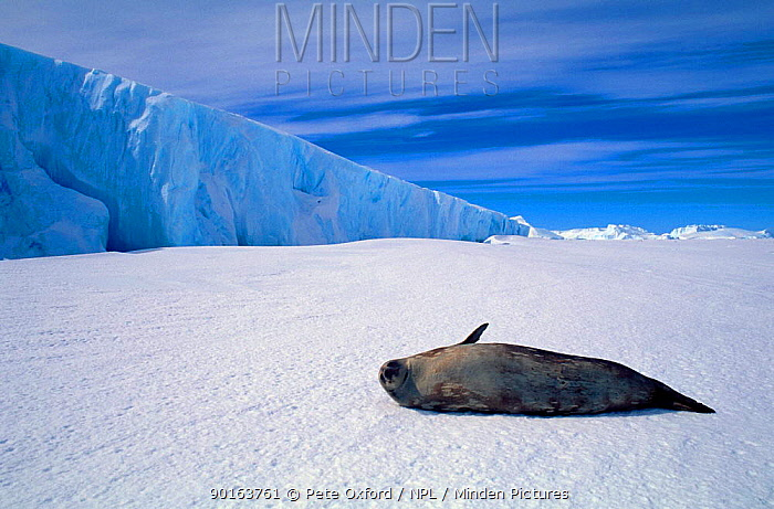 Weddell seal (Leptonychotes weddellii) Australian antarctic territory  -  Pete Oxford/ npl
