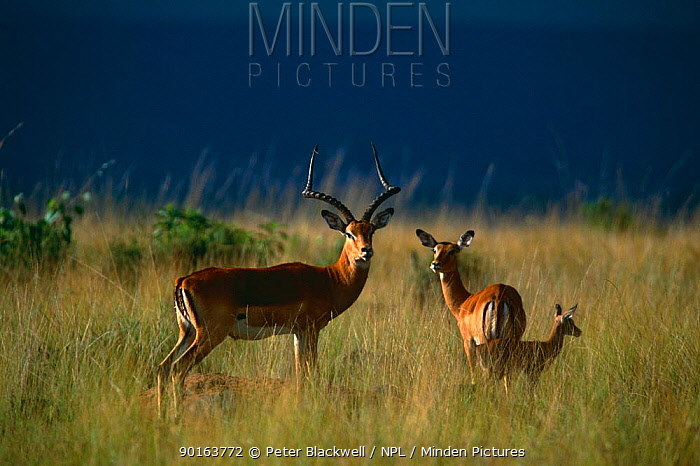 Impala (Aepyceros melampus) family group with storm clouds in background, Masai Mara  -  Peter Blackwell/ npl