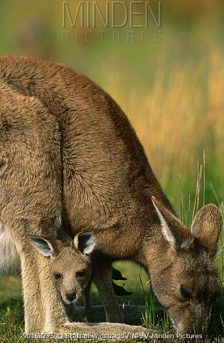 Eastern grey kangaroo (Macropus giganticus) grazing with joey in pouch (Macropus giganteus) Wilsons Promontory NP, Australia  -  Staffan Widstrand/ npl