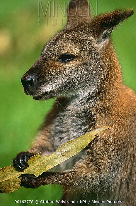 Red-necked wallaby (Macropus rufogriseus) Lamington NP, Queensland, Australlia  -  Staffan Widstrand/ npl