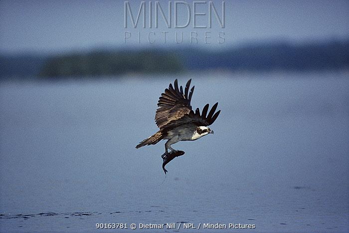Osprey fishing, Germany  -  Dietmar Nill/ npl