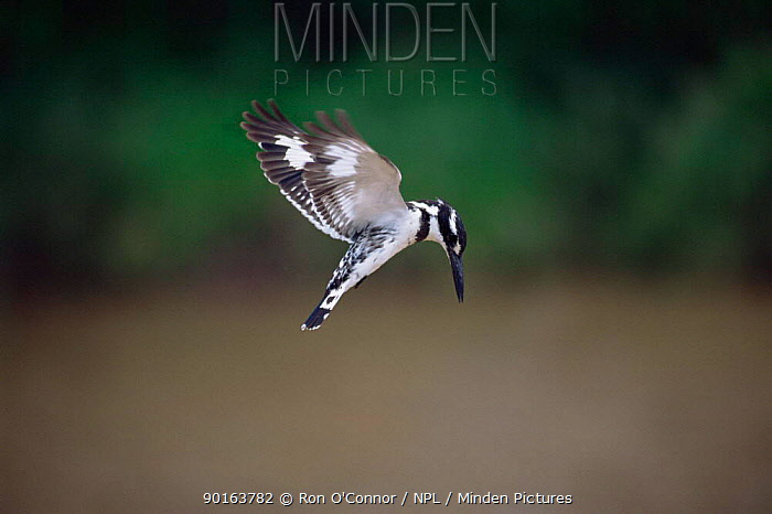 Pied Kingfisher hovering (Ceryle rudis) South Africa  -  Ron O'Connor/ npl