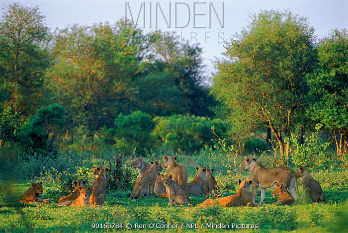 Pride of lions (Pantera leo) in savannah landscape Southern Africa  -  Ron O'Connor/ npl