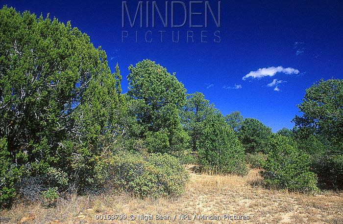 Pinyon pine and Juniper forest, NM, USA Pinyon jay (Gymnorhinus cyanocephalus) bird habitat  -  Nigel Bean/ npl
