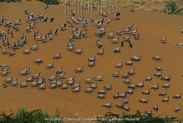Demoiselle crane flock (Anthropoides virgo) Thar desert, Rajasthan, India Overwinters in the desert  -  Bernard Castelein/ npl