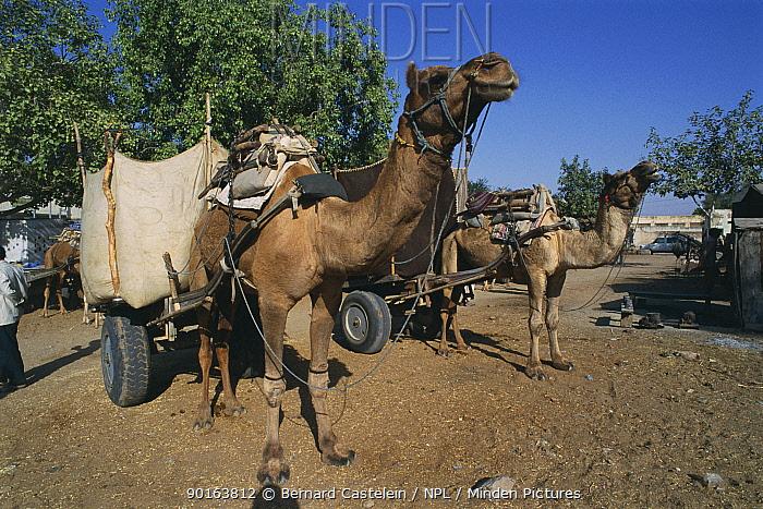 Dromedary camels used to pull carts (Camelus dromedarius) Rajasthan, India  -  Bernard Castelein/ npl