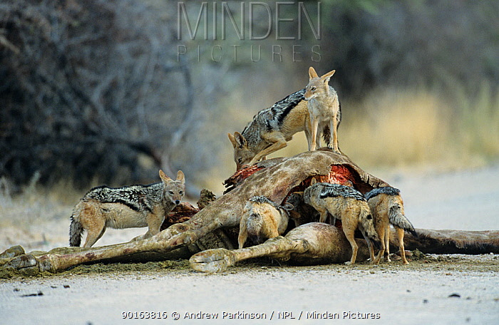 Black backed jackals (Canis mesomelas) feeding on Giraffe carcass, Etosha NP, Namibia  -  Andrew Parkinson/ npl