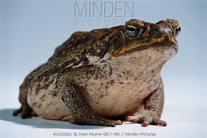 Giant toad aka Cane toad portrait (Bufo marinus) introduced Queensland, Australia  -  Mark Payne-Gill/ npl