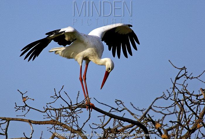 White stork (Ciconia ciconia) landing on tree, Spain  -  Jose B. Ruiz/ npl